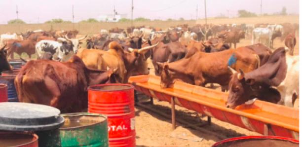 Célébration du 17 avril : Sokhna Aïda Diallo convoie des milliers de bœufs à Médinatu Salam