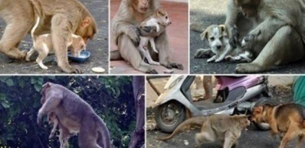 Un singe adopte un chiot après l'avoir défendu contre des chiens errants