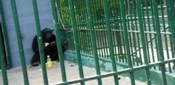 Grosse perte pour le Parc de Hann: le gorille surnommé King Kong mort depuis lundi