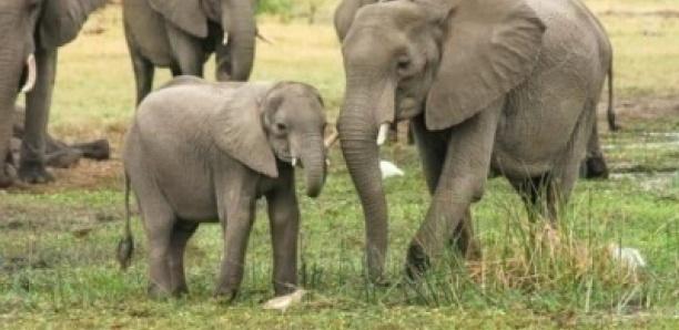 Parc Niokolo Koba Sénégal: les éléphants sont de retour