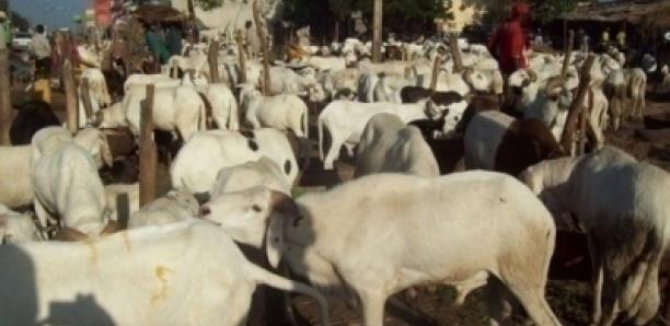 """Tabaski: """"400 Khar La Indiwone 08 Moci Désse"""", Dixit Ce Vieux Vendeur De Mouton"""